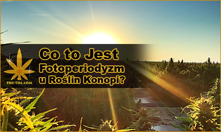 fotoperiodyzm, fotoperiodyczne, rośliny, marihuany, konopi indyjskich, cannabis