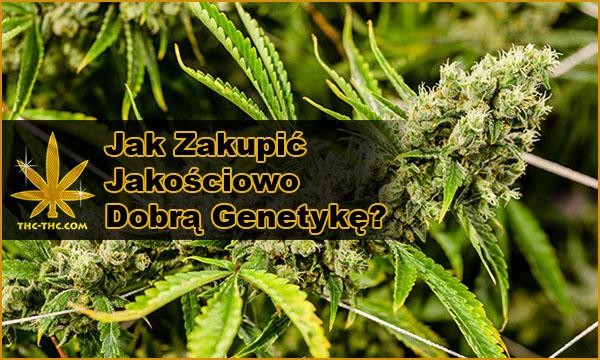 nasiona marihuany, konopi, dobra, najlepsza, genetyka