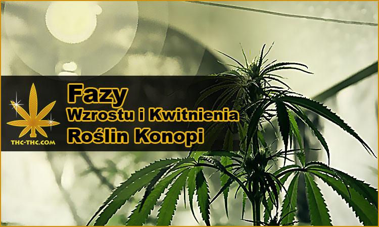 fazy, wzrostu, kwitnienia, roślin, konopi indyjskich, marihuany