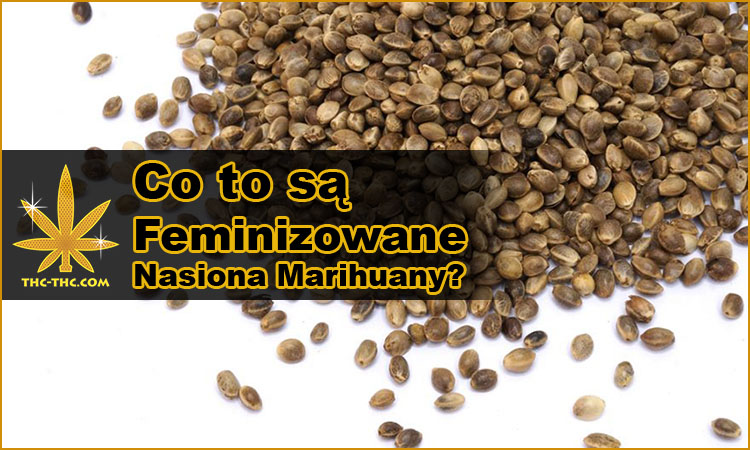 nasiona marihuany, nasiona konopi, feminizowane, żeńskie