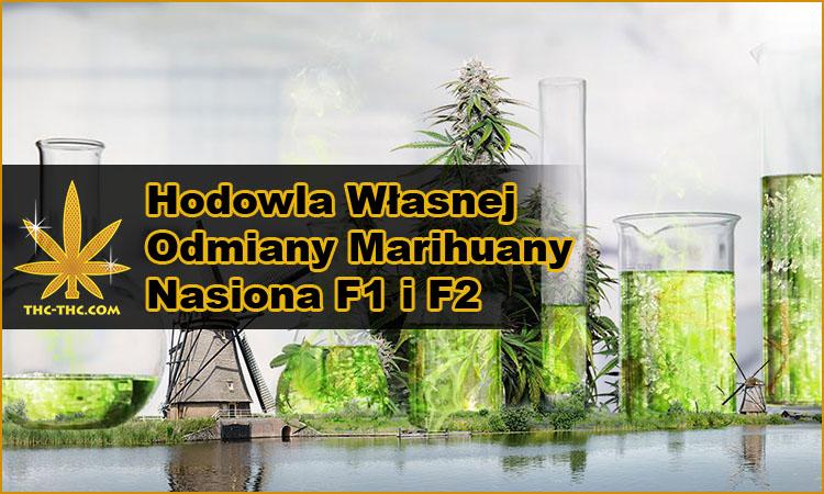 hodowla, uprawa, odmiany, marihuany, konopi, nasiona, F1, F2