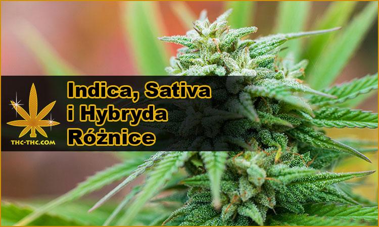 indica, sativa, hybryda, różnice, vs