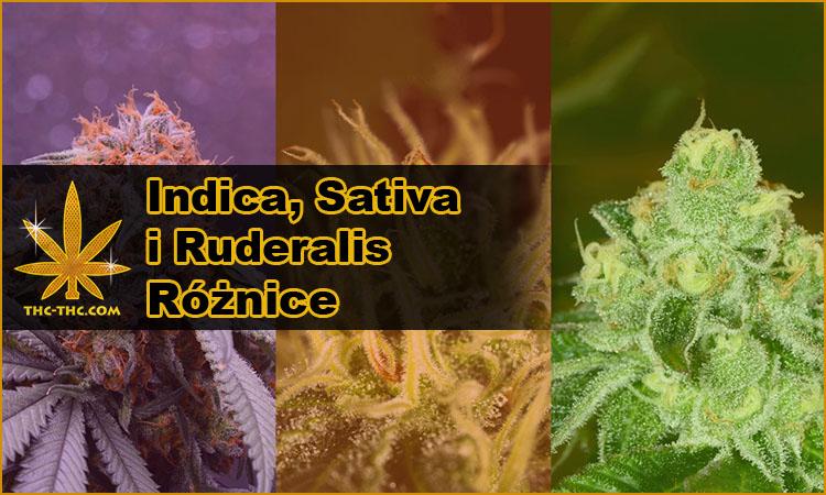 indica, sativa, ruderalis, różnice, vs