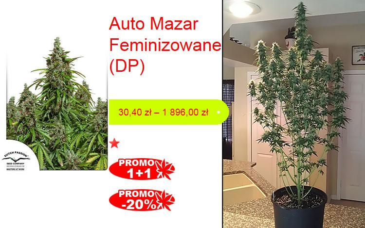 auto mazar, feminizowane, dutch passion, mega promocja, 1+1, -20%