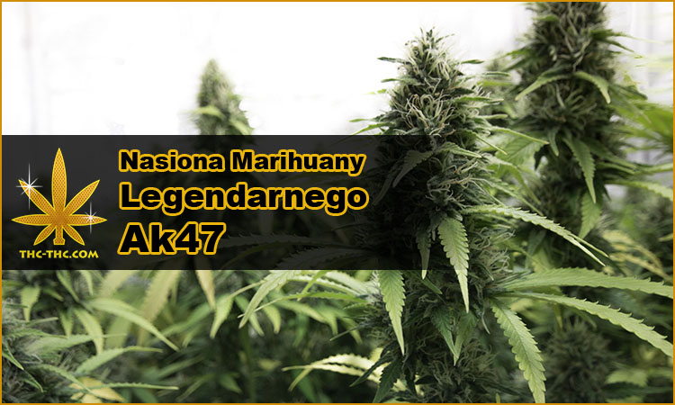 77c178ba8 nasiona marihuany, nasiona konopi, odmiany, hybrydy, genetyki, ak47