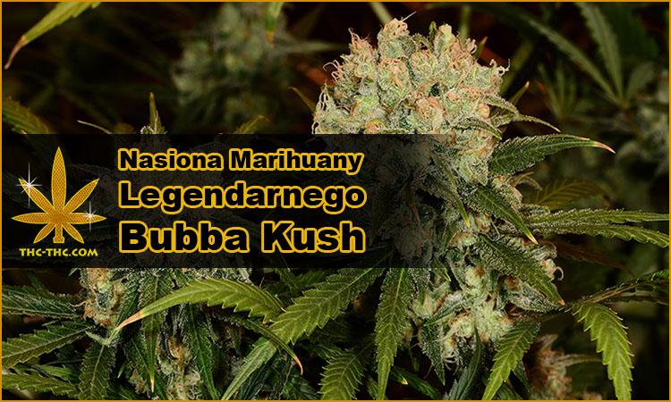 nasiona marihuany, nasiona konopi, odmiany, bubba kush