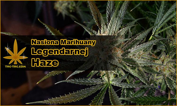nasiona marihuany, nasiona konopi, odmiany, haze, neville's haze, Northern Light