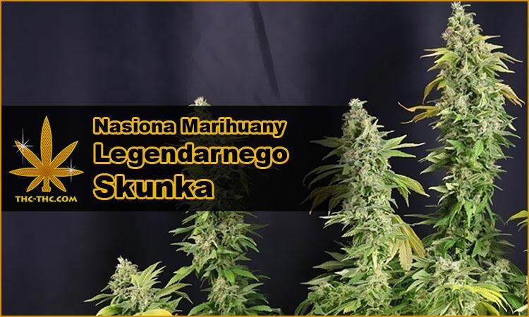 nasiona marihuany, nasiona konopi, odmiany, skunk, skun, skunka, holenderskiego skuna