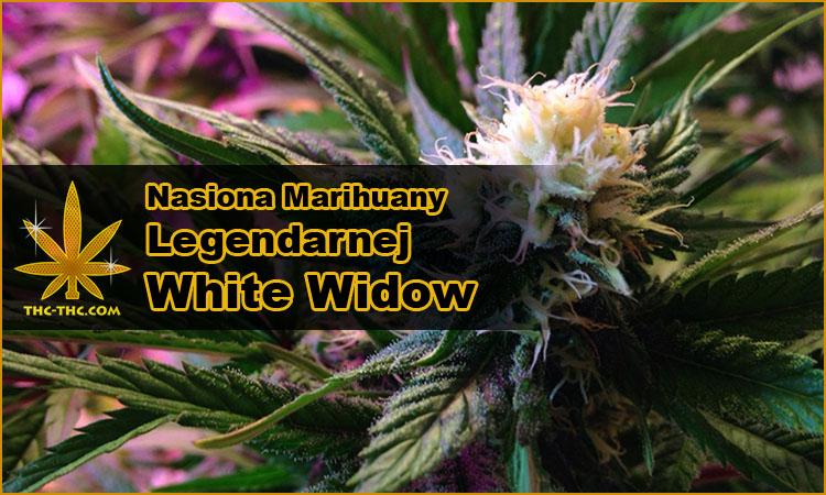 nasiona marihuany, nasiona konopi, odmiany, white widow, białej wdowy, biała wdowa