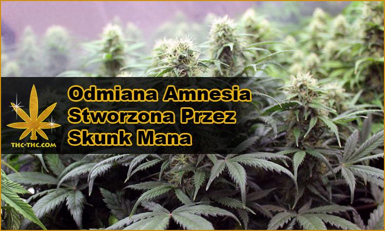 nasiona marihuany, nasiona konopi, odmiany, hybrydy, genetyki, amnesia, amnesi