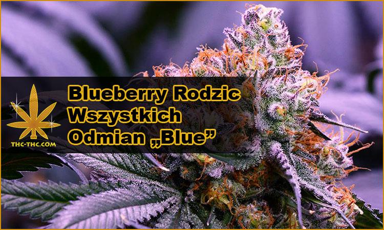 nasiona marihuany, nasiona konopi, odmiany, hybrydy, genetyki, blueberry, blue