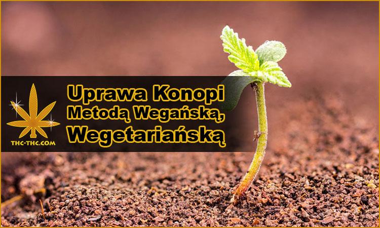 uprawa, hodowla, konopi, marihuany, metodą, wegańską, wegetariańską, veganics, weganika