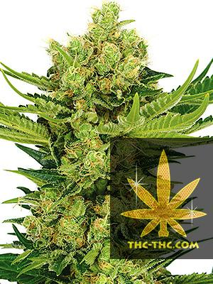 Afghan Kush Feminizowane, Nasiona Marihuany, Konopi, Cannabis