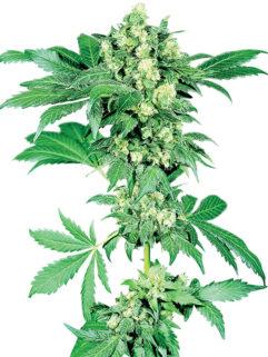 Afghani#1 Feminizowane, Nasiona Marihuany, Konopi, Cannabis