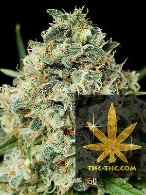 Ak472 Automatic Feminizowane, Nasiona Marihuany, Konopi, Cannabis