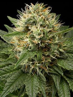 Ak482 Feminizowane, Nasiona Marihuany, Konopi, Cannabis