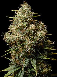 Ak482 Automatic Feminizowane, Nasiona Marihuany, Konopi, Cannabis
