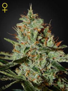 Alaskan Ice Feminizowane, Nasiona Marihuany, Konopi, Cannabis