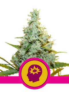AMG - Amnesia Mac Ganja Feminizowane, Nasiona Marihuany, Konopi, Cannabis