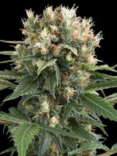 Amnesia Ak Automatic Feminizowane, Nasiona Marihuany, Konopi, Cannabis