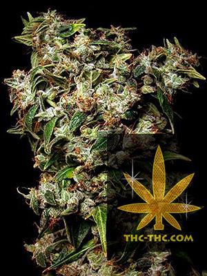 Amnesia Ak Feminizowane, Nasiona Marihuany, Konopi, Cannabis