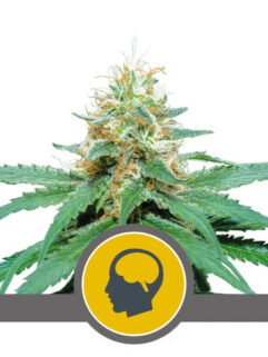 Amnesia Haze Regularne, Nasiona Marihuany, Konopi, Cannabis