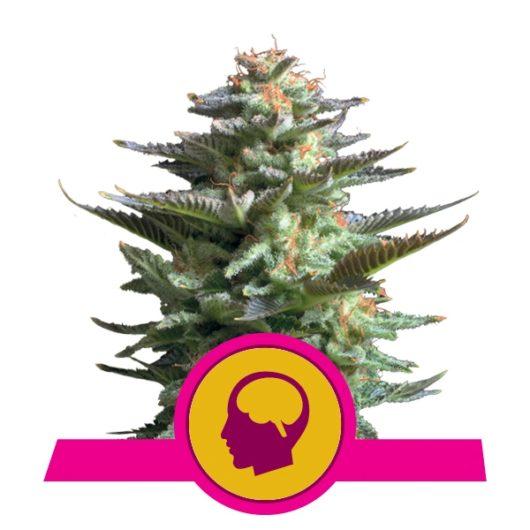 Amnesia Haze Feminizowane, Nasiona Marihuany, Konopi, Cannabis