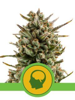 Amnesia Haze Automatic Feminizowane, Nasiona Marihuany, Konopi, Cannabis