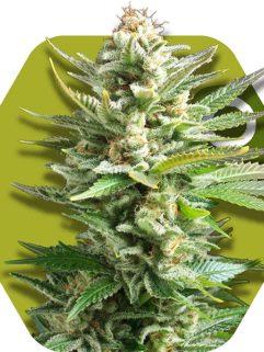 Amnesia Haze XL Feminizowane, Nasiona Marihuany, Konopi, Cannabis