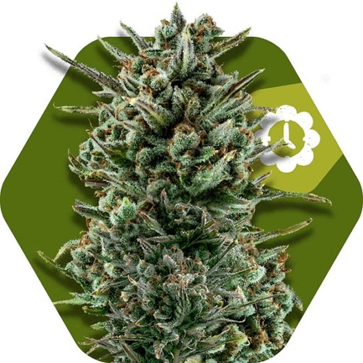 Amnesia Haze XL Automatic Feminizowane, Nasiona Marihuany, Konopi, Cannabis