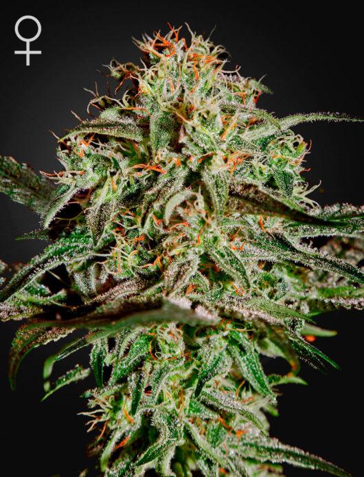 A.M.S. Feminizowane, Nasiona Marihuany, Konopi, Cannabis
