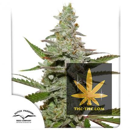Amsterdam Amnesia Feminizowane, Nasiona Marihuany, Konopi, Cannabis