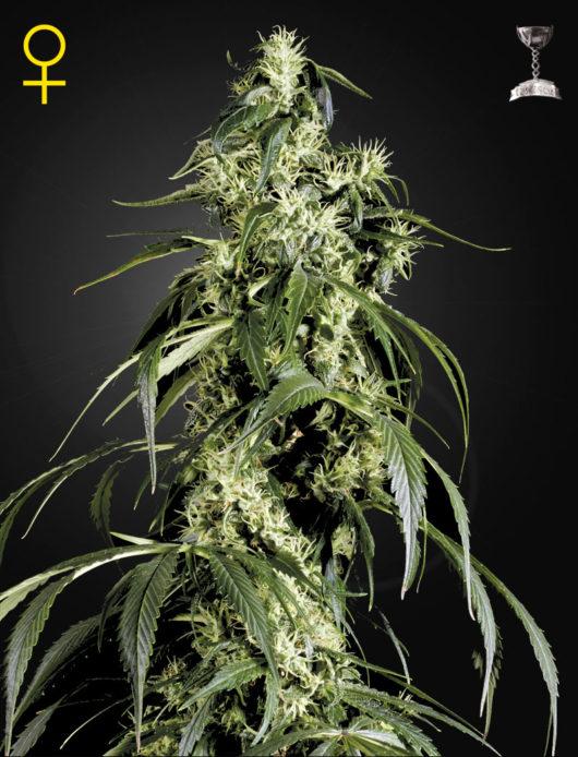 Arjan's Haze 1 Feminizowane, Nasiona Marihuany, Konopi, Cannabis