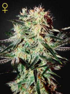 Arjan's Strawberry Haze Feminizowane, Nasiona Marihuany, Konopi, Cannabis