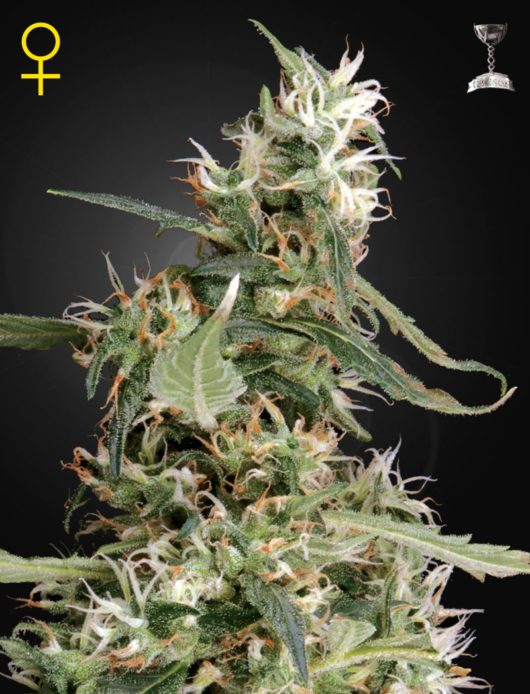Arjan's Ultra Haze 1 Feminizowane, Nasiona Marihuany, Konopi, Cannabis
