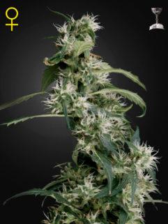 Arjan's Ultra Haze 2 Feminizowane, Nasiona Marihuany, Konopi, Cannabis