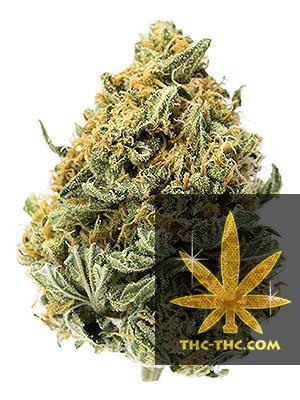 Auto Ak Passion XL Feminizowane, Nasiona Marihuany, Konopi, Cannabis