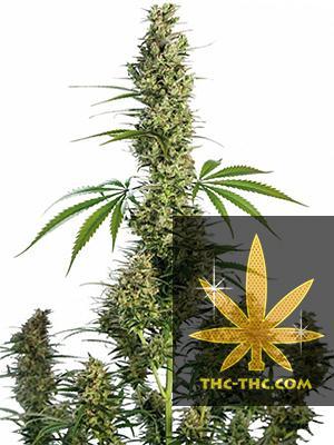 Auto Ak47 XXL Feminizowane, Nasiona Marihuany, Konopi, Cannabis