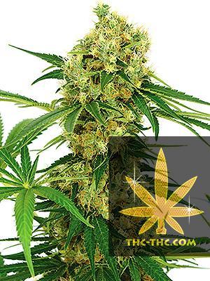 Auto Ak47 Feminizowane, Nasiona Marihuany, Konopi, Cannabis