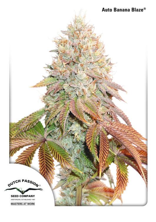 Auto Banana Blaze Feminizowane, Nasiona Marihuany, Konopi, Cannabis