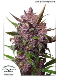 Auto Blackberry Kush Feminizowane, Nasiona Marihuany, Konopi, Cannabis