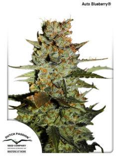 Auto Blueberry Feminizowane, Nasiona Marihuany, Konopi, Cannabis