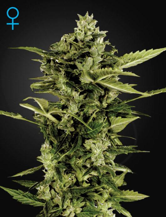 Auto-Bomb Feminizowane, Nasiona Marihuany, Konopi, Cannabis