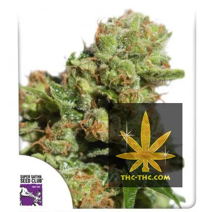 Auto Bruce Lemon Diesel Feminizowane, Nasiona Marihuany, Konopi, Cannabis