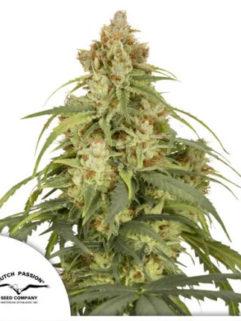 Auto CBD-Victory Feminizowane, Nasiona Marihuany, Konopi, Cannabis