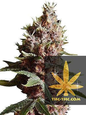 Auto Chronic Feminizowane, Nasiona Marihuany, Konopi, Cannabis