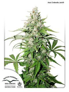 Auto Cinderella Jack Feminizowane, Nasiona Marihuany, Konopi, Cannabis