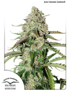 Auto Colorado Cookies Feminizowane, Nasiona Marihuany, Konopi, Cannabis