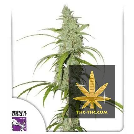 Auto Creeper Feminizowane, Nasiona Marihuany, Konopi, Cannabis