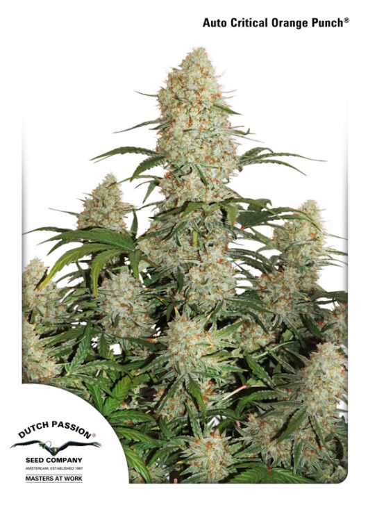 Auto Critical Orange Punch Feminizowane, Nasiona Marihuany, Konopi, Cannabis